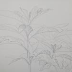Tolan, Plant Portrait 1, 2018, graphite on mylar 10 x 14