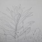 Tolan, Plant Portrait 2, 2018, graphite on mylar 11 x 17