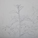 Tolan, Plant Portrait 3, 2018, graphite on mylar 11 x 17