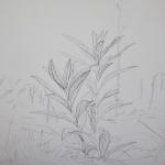Tolan, Plant Portrait 4, 2018, graphite on mylar 11 x 17