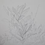Tolan, Plant Portrait 5, 2018, graphite on mylar 11 x 17
