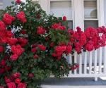 """Suburban Garden (red rose arbor), photograph, 15"""" x 20"""""""