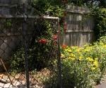 """Suburban Garden (gate), photograph, 15"""" x 20"""""""