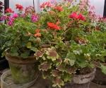 """Suburban Garden (begonia), photograph, 15"""" x 20"""""""