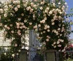 """Suburban Garden (rose arbor), photograph, 15"""" x 20"""""""