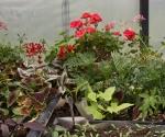 """Suburban Garden (coleus), photograph, 15"""" x 20"""""""