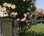 """Suburban Garden (pink and red rose), photograph, 15"""" x 20"""""""