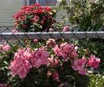 """Suburban Garden (hot pink peony), photograph, 15"""" x 20"""""""