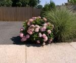 """Suburban Garden (hydrangea), photograph, 15"""" x 20"""""""