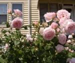 "Suburban Garden (pale pink rose), photograph, 15"" x 20"""