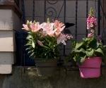 "Suburban Garden (pink foxglove), photograph, 15"" x 20"""