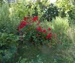 """Suburban Garden (rose and weeds), photograph, 15"""" x 20"""""""