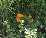 """Suburban Garden (orange milkweed), photograph, 15"""" x 20"""""""