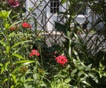 """Suburban Garden (sweet william and lily), photograph, 15"""" x 20"""""""