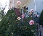 """Suburban Garden (dahlias), photograph, 15"""" x 20"""""""