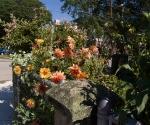 """Suburban Garden (yellow dahlias), photograph, 15"""" x 20"""""""
