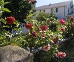 """Suburban Garden (red dahlias), photograph, 15"""" x 20"""""""