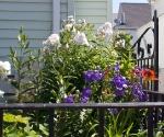 """Suburban Garden (white phlox), photograph, 15"""" x 20"""""""