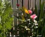 "Suburban Garden (lipstick pink), photograph, 15"" x 20"""