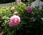 """Suburban Garden (pink peony), photograph, 15"""" x 20"""""""