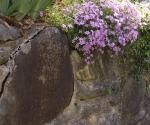 """Suburban Garden (phlox), photograph, 15"""" x 20"""""""
