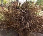 """Suburban Garden (dead shrub), photograph, 15"""" x 20"""""""