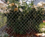 "Suburban Garden (dying peony), photograph, 15"" x 20"""