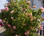 """Suburban Garden (fading roses), photograph, 15"""" x 20"""""""